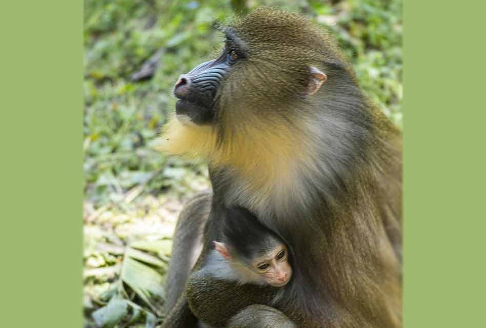 Baby Mandrill Ivy, Born at Disney's Animal Kingdom Theme Park
