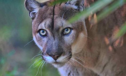 Florida panther dies after being struck by a vehicle, only 230 left