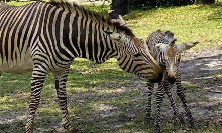 Baby Zebra born at Disney's Animal Kingdom