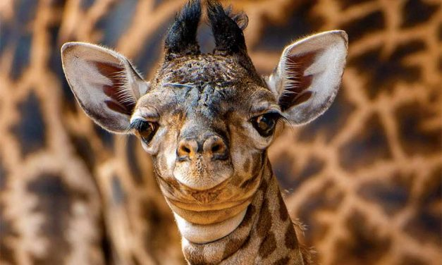 Disney's Animal Kingdom welcomes a beautiful, and tall, baby boy Giraffe calf