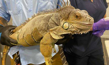 FWC helps tag nearly 150 tegus and green iguanas with a month left in 90-day grace period