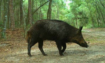 Don't quit hunting just because it's summer – try wild hog hunting instead