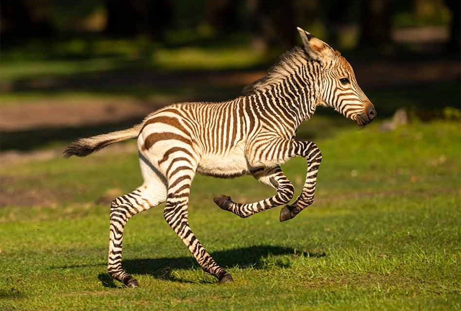 Experience Dash the Baby Zebra at Disney's Animal Kingdom Theme Park