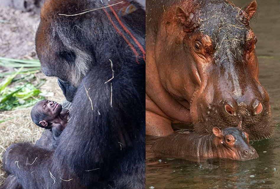 Gorilla and Hippopotamus born just one day apart at Disney's Animal Kingdom