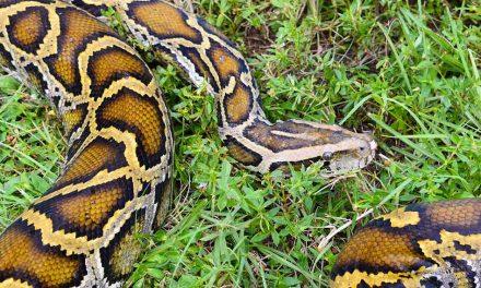Florida Python Challenge kicks of today; with new $10,000 award