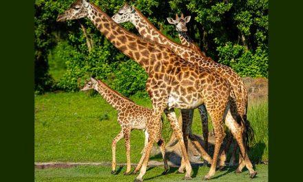 Humphrey the Baby Giraffe Makes Kilimanjaro Safaris Debut at Walt Disney World