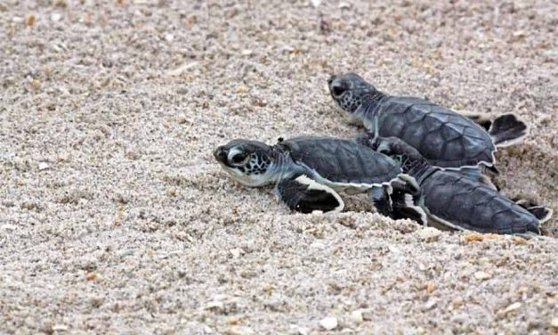 Sea turtles are hatching on Florida beaches; keep them safe with these tips from FWC
