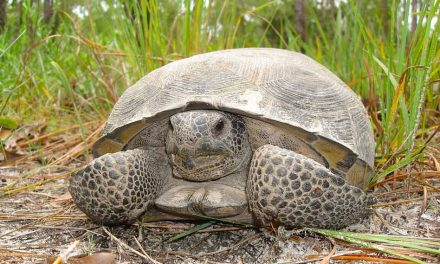 FWC seeks landowners to help with gopher tortoise conservation