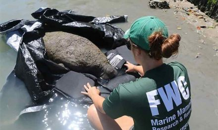 FWC Melbourne Beach Manatee Internship Position Currently Available!